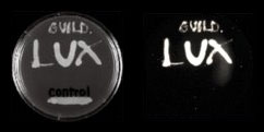 Bacillus Anthracis infected with the Guild BioSciences Phage in light (L) and darkness (R)